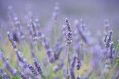 Lavender flower in a field — Stock Photo