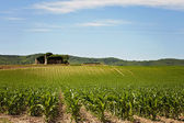 Corn field in Provence — Stock Photo
