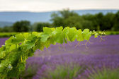 A vine branch on the lavender background, focus is on the single — Photo