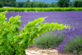 A vine branch on the lavender background, focus is on the single — Foto de Stock