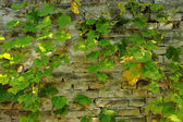 Brick Wall with Vine Leaves — Stock Photo