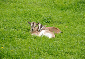 Two Small Goatlings on Hayfield — Stock Photo