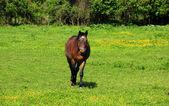 Horse Walks on Grassfield — Stock Photo