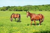 Two Horses Feeds on Grass — Stock Photo
