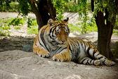 Lying Tiger — Stockfoto