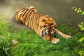 老虎洗澡 — 图库照片