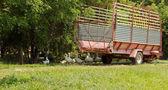 Goosses på gården med jordbruket rangerbangård — Stockfoto