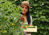 Gardener is Reaping a Tomatoes — Stock Photo
