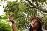 Garden Woman is Garnering an Apples — Stock Photo