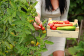 Gardener is Picking up a Tomatoes — Stock Photo