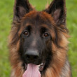 German shepherd — Stock Photo #33538933
