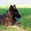 German shepherd — Stock Photo #33539105