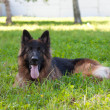 German shepherd — Stock Photo #33539127