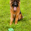 German shepherd — Stock Photo #33539437