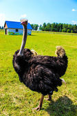 Great ostrich — Stock Photo
