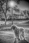 Bergamasco in the park — Stock Photo