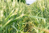 Path in the wheat — Stock Photo