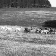 Goats running on the field in black and white — Stockfoto