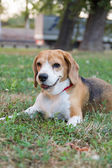 Beagle dog lying on the grass in the park and watching something — Stock Photo