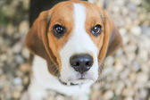 Snout of beagle puppy dog — Stock Photo