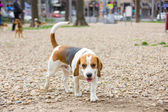 Perro beagle en el parque — Foto de Stock