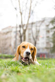 Beagle dog nibbles stick in park on green grass — Stock Photo
