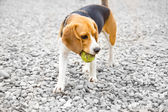 Beagle dog with ball in mouth — Stock Photo