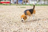 Beagle olfateando — Foto de Stock