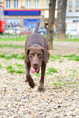 Chien brun en parc avec la langue sortie — Foto de Stock