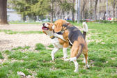 Couple of beagle dogs playing on grass — Stock Photo