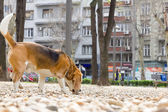 Dog beagle sniffing in the park — Stockfoto