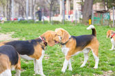Lovable beagle dogs enjoying playing in park — Stock Photo