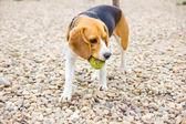 Juguetón beagle atrapar una bola — Foto de Stock
