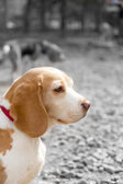 Portrait of beagle in colour on black and white background — Photo
