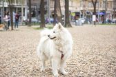 Samoyed in park — Stockfoto