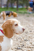 Snout of beagle dog — Stock Photo