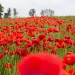 A field of red poppies against cloudy summer sky — Stock Photo #47986491