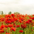 Poppy flowers outdoors in beautiful illuminated red colour — Stock Photo #47987583