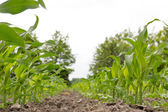 Corn field with young corn maize plants — Stock Photo
