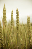 Ripe ears of grain in wheat field — Stock Photo