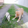 Two puppy dogs walking each other on the leash — Stock Photo #50342869