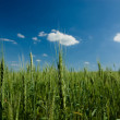 Rye field at summer noon — Stock Photo