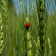 Ladybird on green rye. — Stock Photo