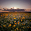 Sunset at sunflower field. — Stock Photo