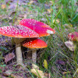 Group of red toadstools in grass. — ストック写真