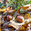 Stock Photo: Closeup of two acorns