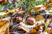 Closeup of two acorns — Stock Photo