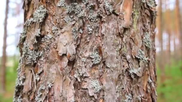 Tronco de pino — Vídeo de stock