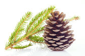 Fir cone and spruce branch — Stock Photo