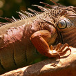 Watchful Iguana — Stock Photo